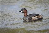 Little grebe from Saturday
