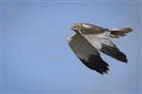 marsh harriers showed magnificently on Saturday