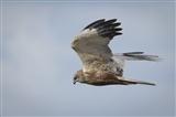 Harrier close encounter
