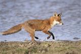 Fox on patrol