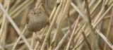 Button-eyed wren