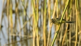 Yellow wag on reeds