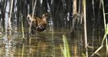 water rail (Marshland)