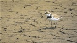 Little ringed plover (Marshland)