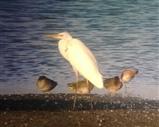 Great white egret 8 September 2016 1