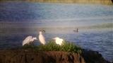 Great white egret 8 September 2016 2