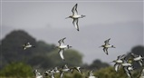 panicked godwits