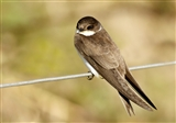 Sand Martin at rest