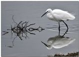 Little Egret Reflection