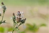 Thistle Goldfinch