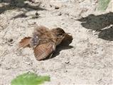 Dust Bath Wren Juvenile