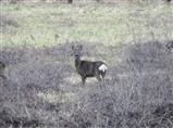 Roe Deer at Lin Dike