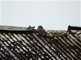 Little Owl at Newfield Farm