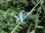 Kingfisher 1