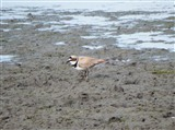 Little Ringed Plover at Lin Dike