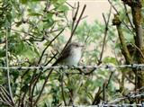 Juvenile Spotted Flycatcher