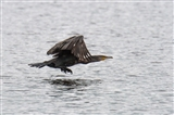 Cormorant attempting a graceful landing
