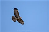 Buzzard soar