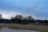 Starling Roost 2