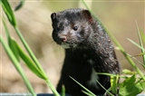A mink on the path to Avalon hide