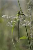 Dragonfly - teneral emperor