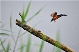 Kingfisher 14/7/14