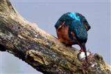 Kingfisher Monday 14/7/14.