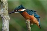 Kingfishers 27/8/14