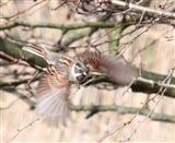 Male Reed Bunting in Flight