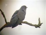 A half-decent cuckoo pic