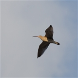 Curlew fling overhead