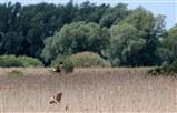Marsh Harrier And Bittern