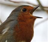 Obliging robin