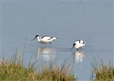 Avocets from Netley's Hide