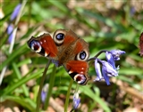 Peacock Butterfly on Bluebells