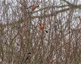 Plenty of Bullfinch