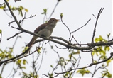 Nightingale near Little Hanger Hide April 2015