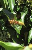 Hornet goes for ivy