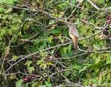 Redstart Straggler