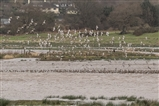 Black Tailed Godwits on North Brooks