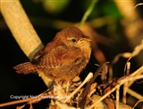 Wren out in the sunshine