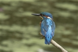 A Kingfisher at Rye Meads