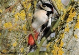 Great Spotted Woodpecker at the kingfisher hide