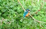 Male kingfisher at RMNR