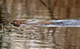 Swimming Stoat