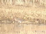 blacktailed godwit