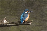 Kingfisher from hide
