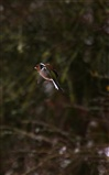 Chaffinch coming in to land