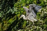 Grey Heron - Juvenile