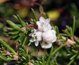Dodder Flower
